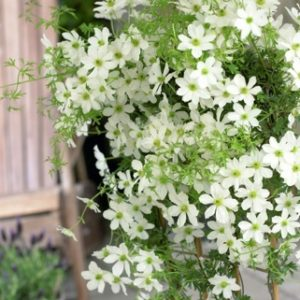 clematis, Do You Have Fences Or Walls To Cover Or Brighten?