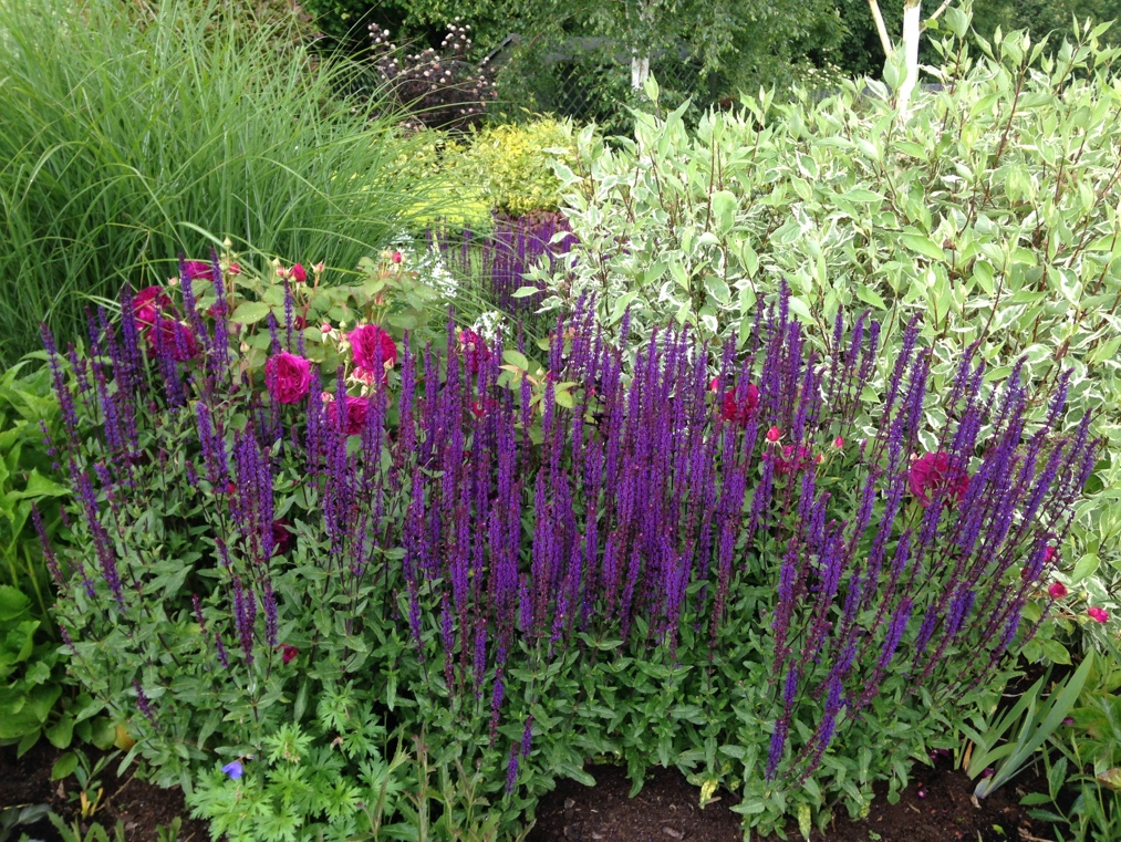 Early flowering perennials advice from garden blueprints garden design early flowering perennials other plants to try at the front of the border are geraniums such as rozanne or endresseii mightylinksfo