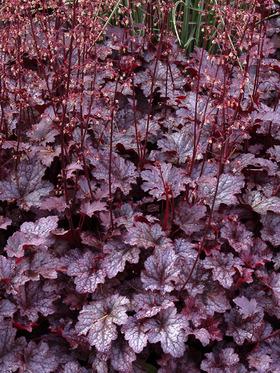 Early flowering perennials advice from garden blueprints garden design garden design leicester mightylinksfo