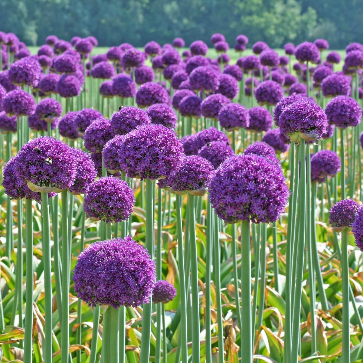 Цветы растут как шарики фото