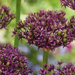 , Bulbs are king in Spring – Plant in Autumn
