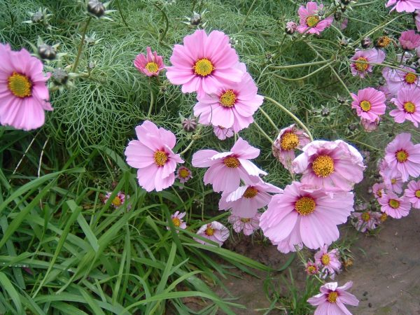 , Fill gaps in your borders with Hardy Annuals