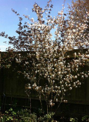Amelanchier lamarckii blossom The best trees for spring blossom