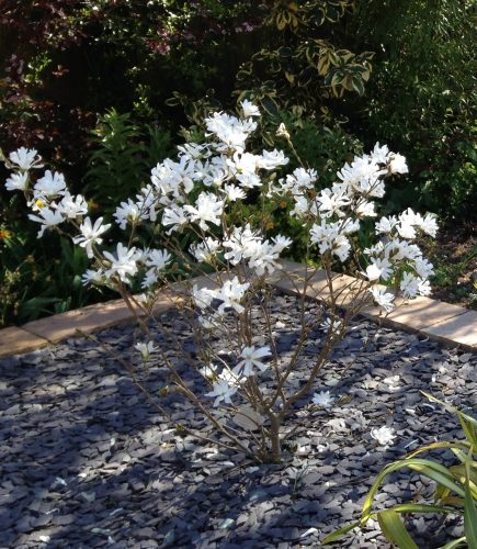 Magnolia stellata blossom The best trees for spring blossom