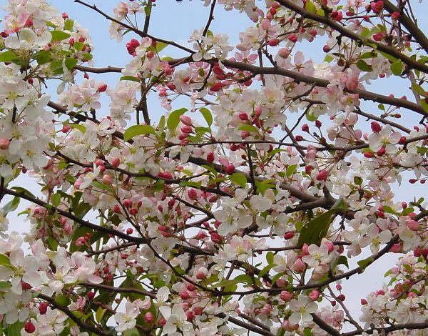 The best trees for spring blossom