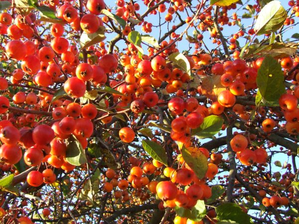 malus Evereste crab apples The best trees for spring blossom
