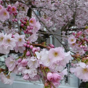 Prunus Accolade Trees for Spring The best trees for spring blossom