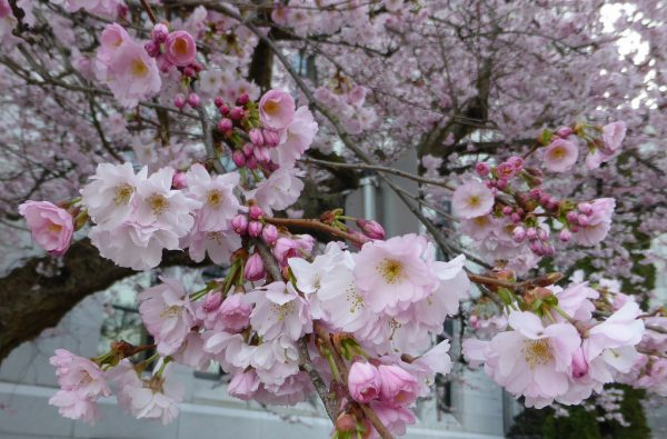 Best trees Spring Blossom,blossom trees,, The best trees for spring blossom