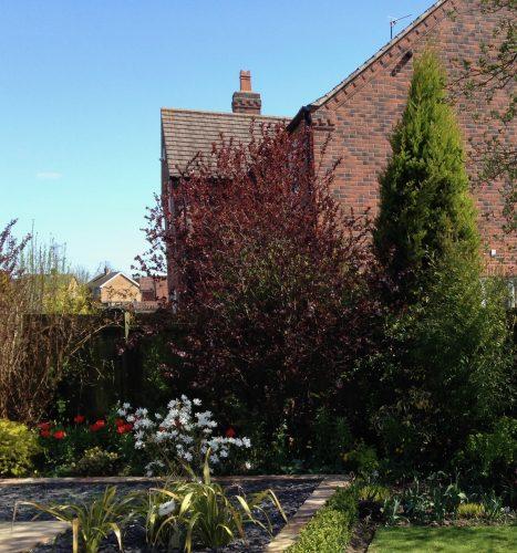 Prunus cerisifera Nigra The best trees for spring blossom