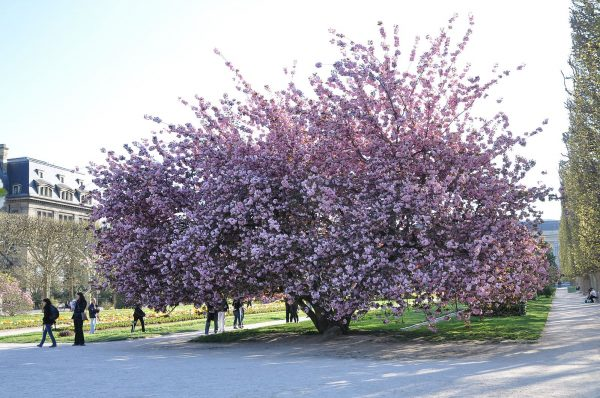 Prunus Kanzan blossom The best trees for spring blossom