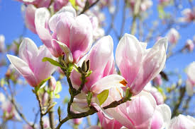 Magnolia souleangea blossom The best trees for spring blossom