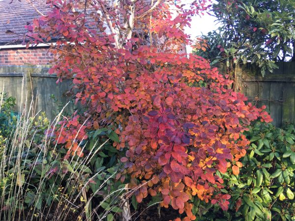 Cotinus coggygria Notcutts Variety. Beautiful Autumn colours.