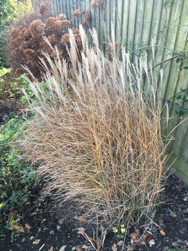 Miscanthus sinensis Gracillimus. The fronds are beautiful.
