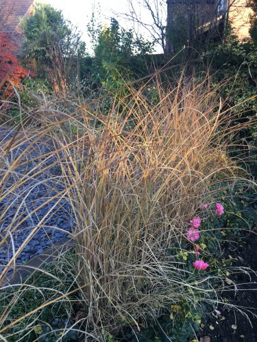 Miscanthus Morning Light. The low sunlight captures the top of the grass.